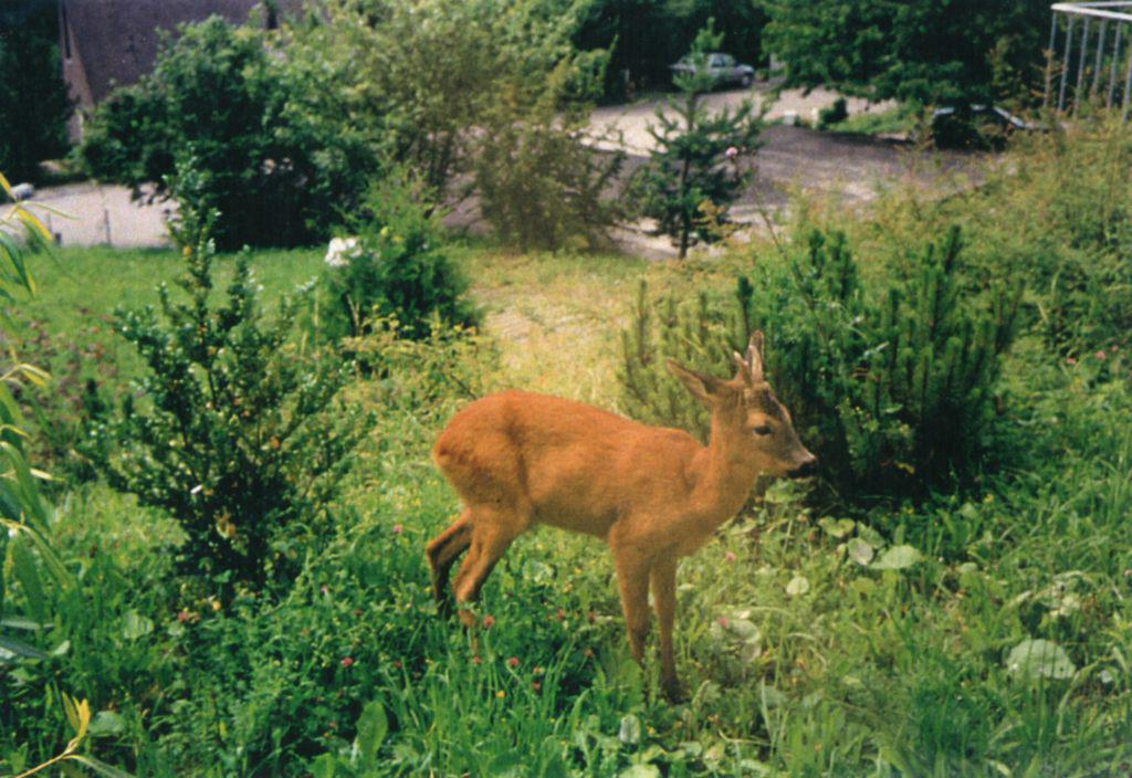 """For several weeks in Ramlinsburg, every day as soon as   Barshai started working, to a window of his room the   little deer was coming. Barshai called it the """"Lord's   Gift""""."""